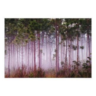 Mist among pine trees at sunrise, Everglades Photograph