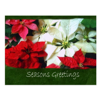 Mixed Color Poinsettias 1 - Seasons Greetings Postcard