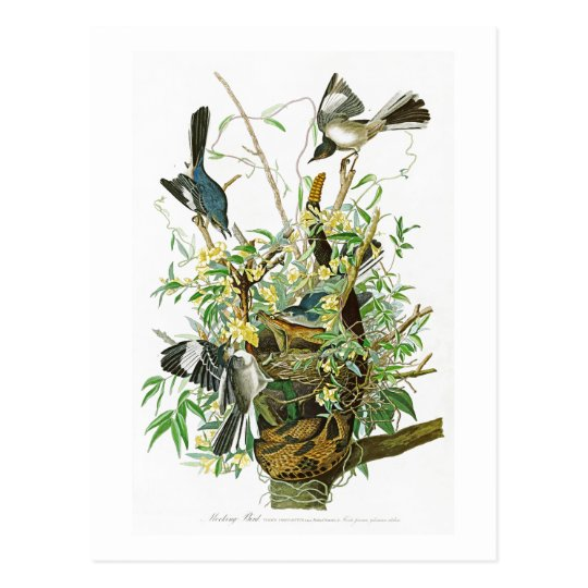 Mocking Bird John James Audubon Birds of America Postcard