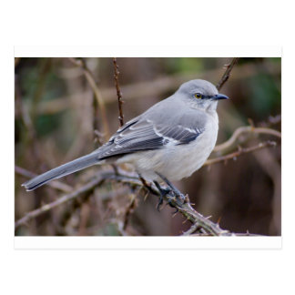 Mockingbird Ornithology Postcard