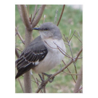 Mockingbird Postcard