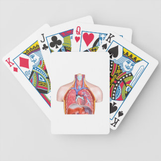 Model internal human body on white background bicycle playing cards