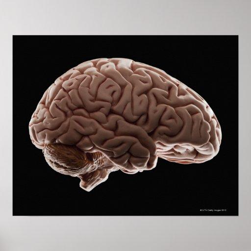 Model of human brain, studio shot posters