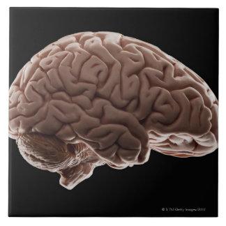 Model of human brain, studio shot tiles