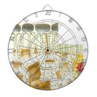 Model plant cells with chloroplasts chlorophyll dartboard