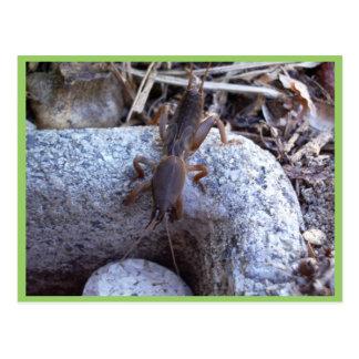 Mole Cricket On The Stone Postcard