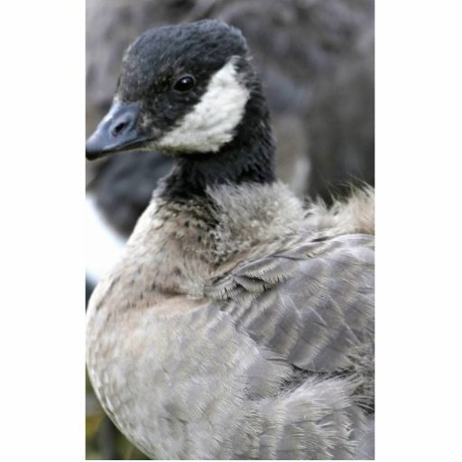 Molting cackling Canada goose Cut Outs
