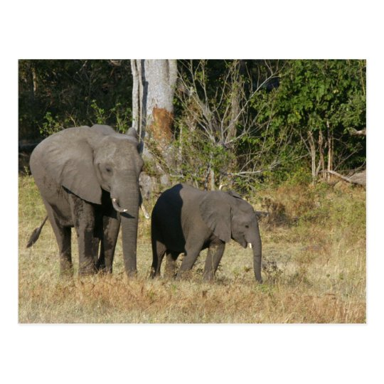 Mom and Happy Elephant Calf Postcard