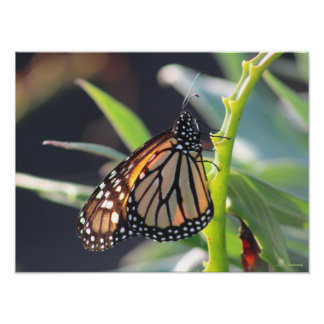 Monarch Butterfly 16x12 Canvas Poster Print