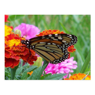 Monarch Butterfly 3 Postcard