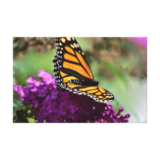Monarch butterfly (Danaus plexippus) Canvas Print