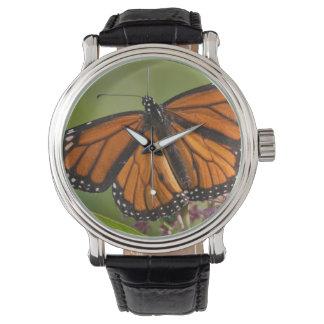 Monarch Butterfly male on Swamp Milkweed Watch