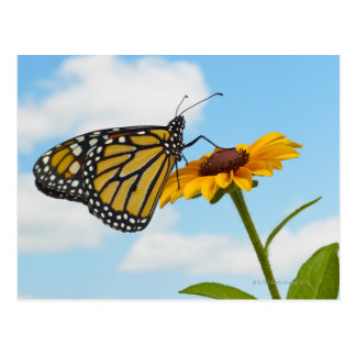 Monarch Butterfly on a Black Eyed Susan Postcard