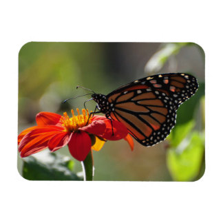 Monarch Butterfly on a Mexican Sunflower Torch Rectangular Photo Magnet