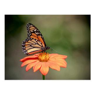 Monarch Butterfly on an orange flower Postcard