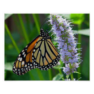 Monarch Butterfly on flower Poster