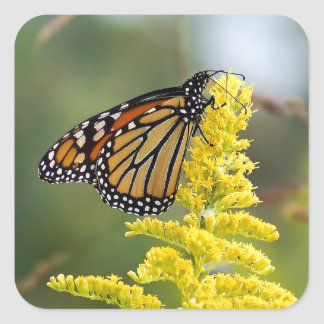 Monarch Butterfly on Goldenrod Square Sticker