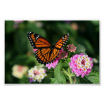 Monarch Butterfly on Lantana Flower Poster