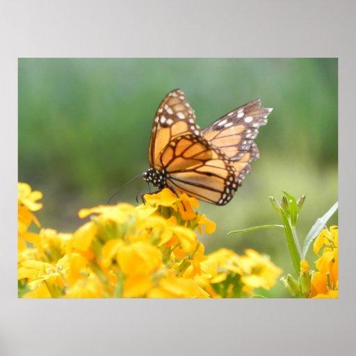 Monarch Butterfly on Siberian Wallflowers Posters