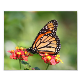 Monarch Butterfly on Two Lantana Flowers Photo Print