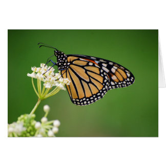 Monarch Butterfly on White Swamp Milkweed Flower C Card