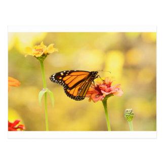Monarch Butterfly on Zinnia Postcard