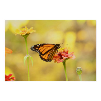 Monarch Butterfly on Zinnia Poster