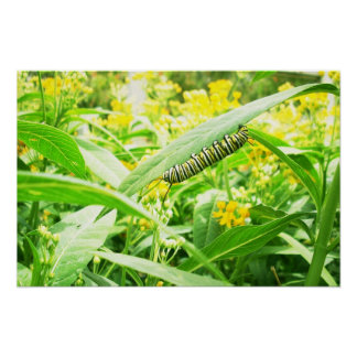 Monarch caterpillar feeding on milkweed poster