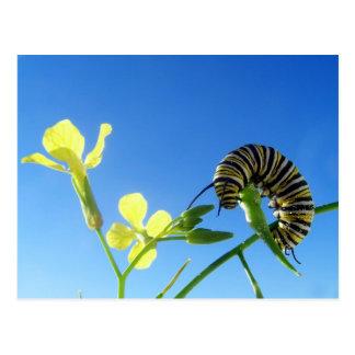 Monarch Caterpillar Postcard