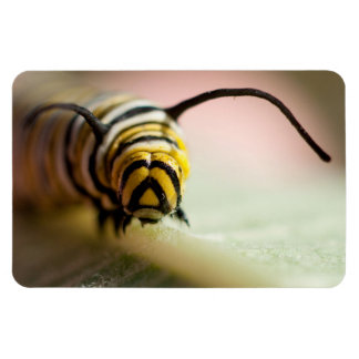 Monarch caterpillar up close photo magnet