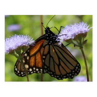 Monarch on Conoclinium Greggii # 11 Postcard
