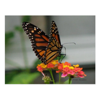 Monarch on Lantana Postcard