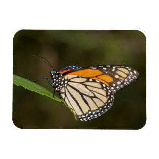 Monarch perched on a leaf rectangular photo magnet