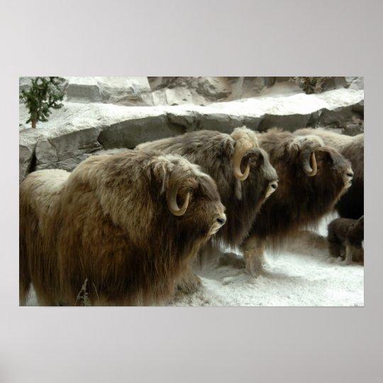 Mongolian Yaks in Winter Poster Print