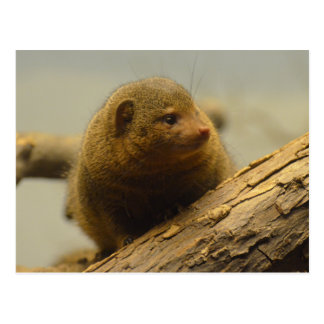 Mongoose a Tree Branch Postcard