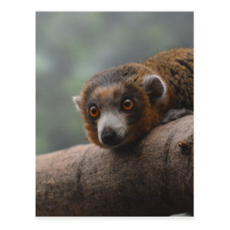 Mongoose Lemur Postcard