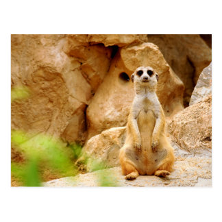 Mongoose Standing Tall Postcard