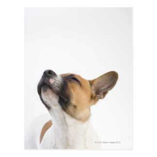 Mongrel puppy postcard