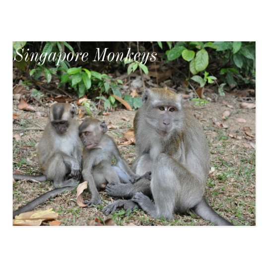 Monkey Family of Singapore Postcard