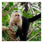 Monkey in Costa Rica Poster