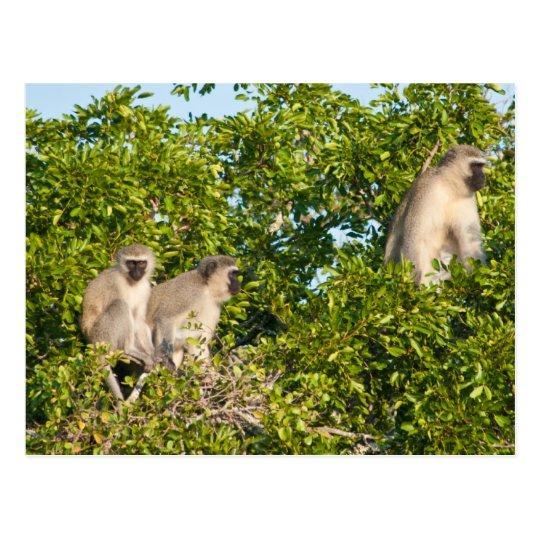 Monkey See Postcard
