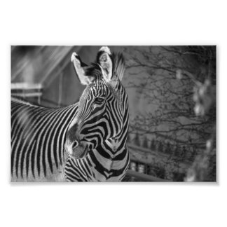 Monochrome Zebra Print