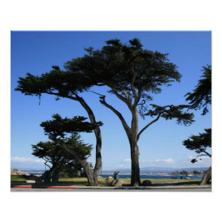 Monterey Cypress Tree, Coastline Photo Poster