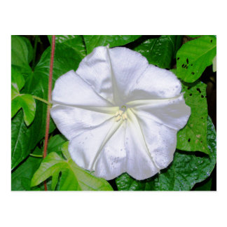 Moonflower Postcard