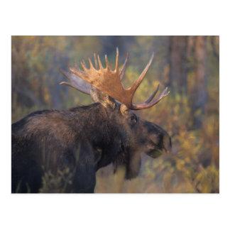 moose, Alces alces, bull in Grand Teton Postcard