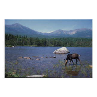 Moose and Mount Katahdin Poster