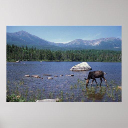 Moose and Mount Katahdin Poster