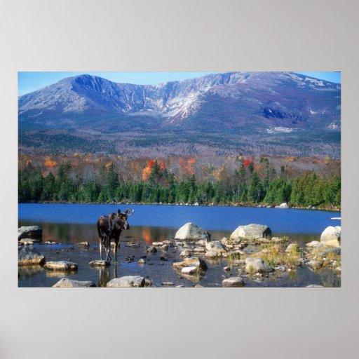 Moose and Mount Katahdin Print