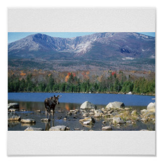 Moose at Sandy Stream Pond Poster