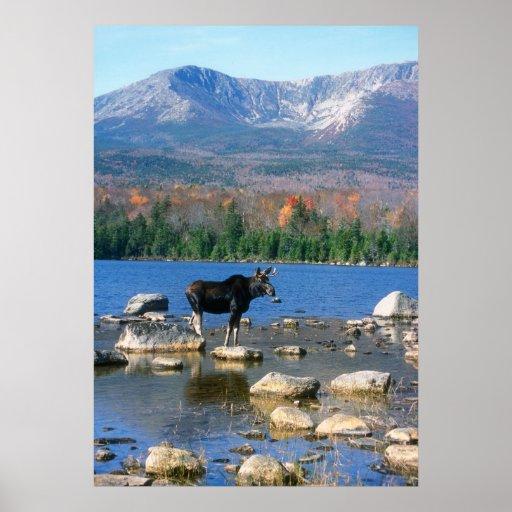 Moose at Sandy Stream Pond Poster